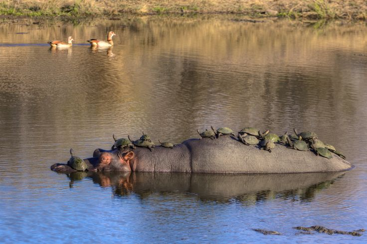Not just a hippo