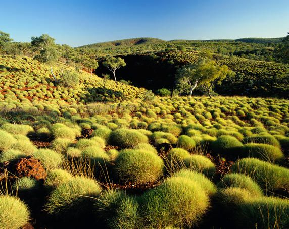 Spinifex grasses and Snappy Gums - Karijini National Park, Western Australia