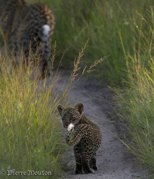 Curious leopard cub. The white tail tips contrast with the body colour and allow cubs to follow their mums in long grass. Leopards will flick the tips of their tails when they see prey, which may be a signal for the cub to lie low when a hunt begins.