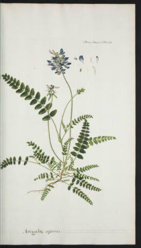 Flora danica, v.1 = Florae danicae, v.1 = Floræ danicæ, v.1 :: Rare Books and Manuscripts Collection