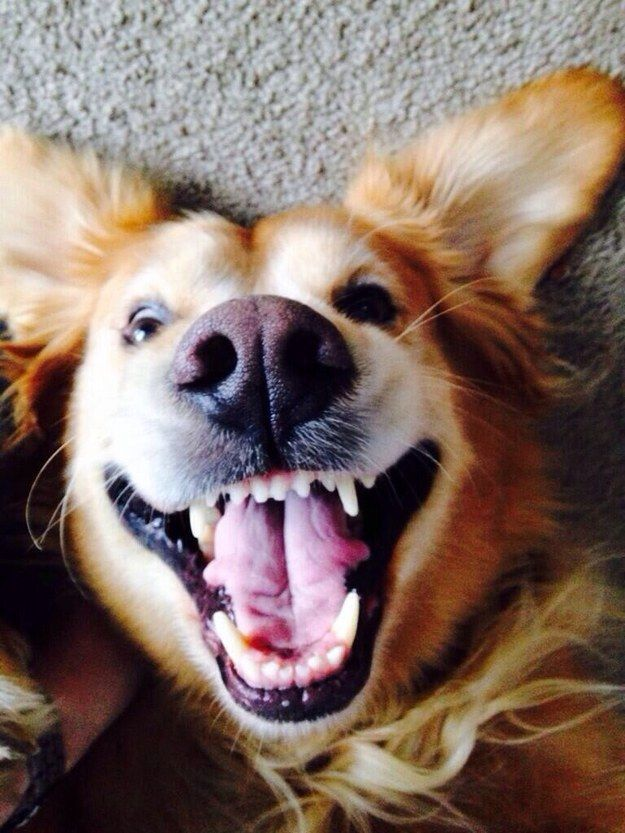 Their ridiculous smiles take over their entire face: | 23 Times Golden Retrievers Failed So Hard But Were So Cute It Didn't Matter