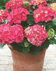 Forever & Ever® Red Hydrangea - TB146.   2-3' T & W, zone 4, red stems, old & new wood