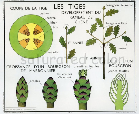 Vintage Stems   Asparagaus  Botanical Chart by SaturatedColor, $11.99