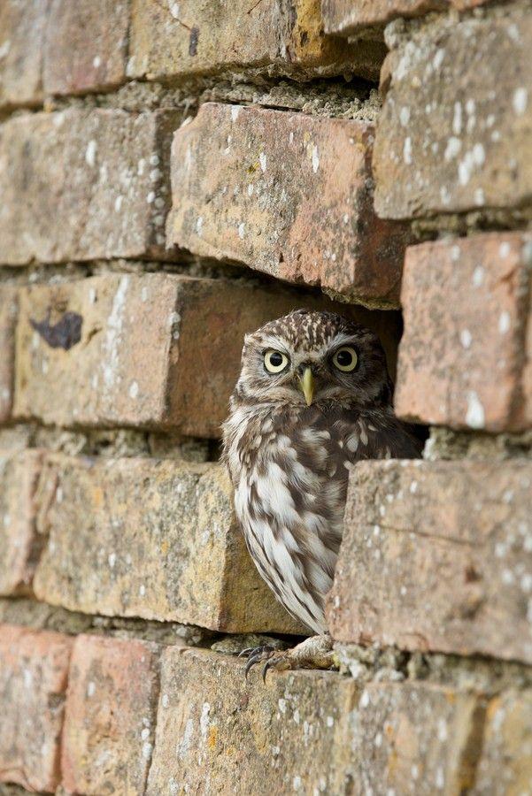 Owl (by Robert Hook).