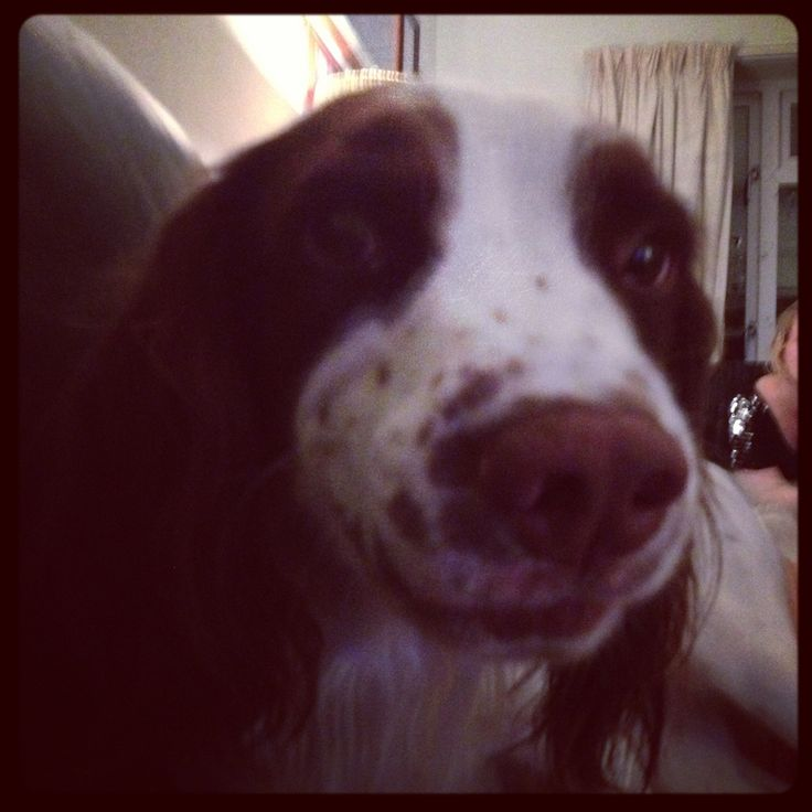 Harry coming to have cuddles with daddy #springer #spaniel