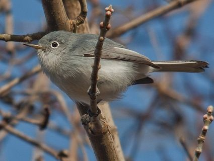 Blue-gray Gnatcatcher; Texarkana, TX; September 2010