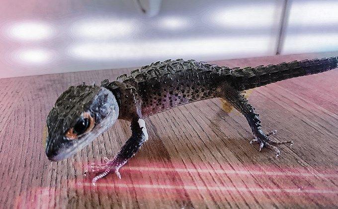 かっこいい爬虫類 アカメカブトトカゲの特徴と飼育方法 値段や繁殖方法 水場を準備しよう Woriver トカゲ アカメ 生き物