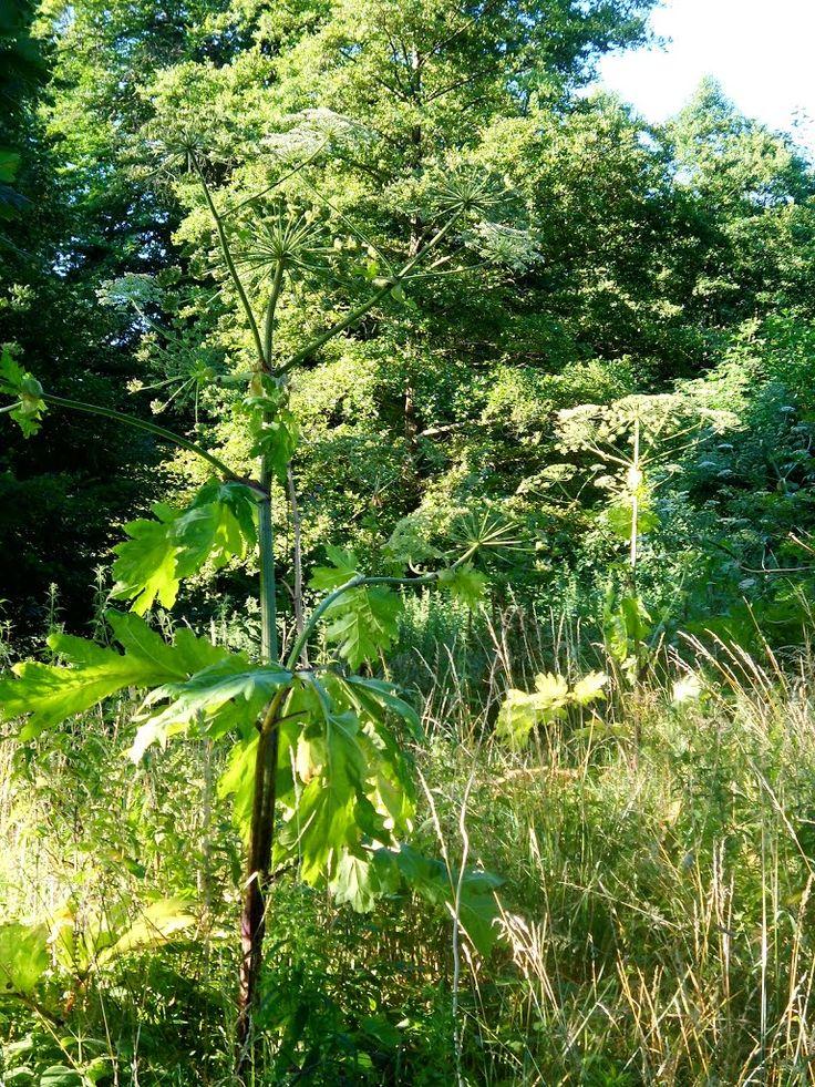 Herkulesstaudenwald , (Wiesen-Bärenklau (Heracleum sphondylium)) , leicht giftig