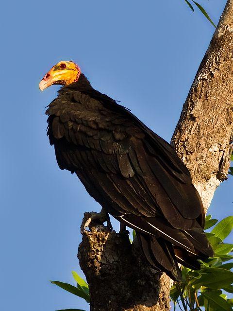 Grote geelkopgier - Greater yellow-headed vulture - Urubu-da-mata (Cathartes melambrotus)