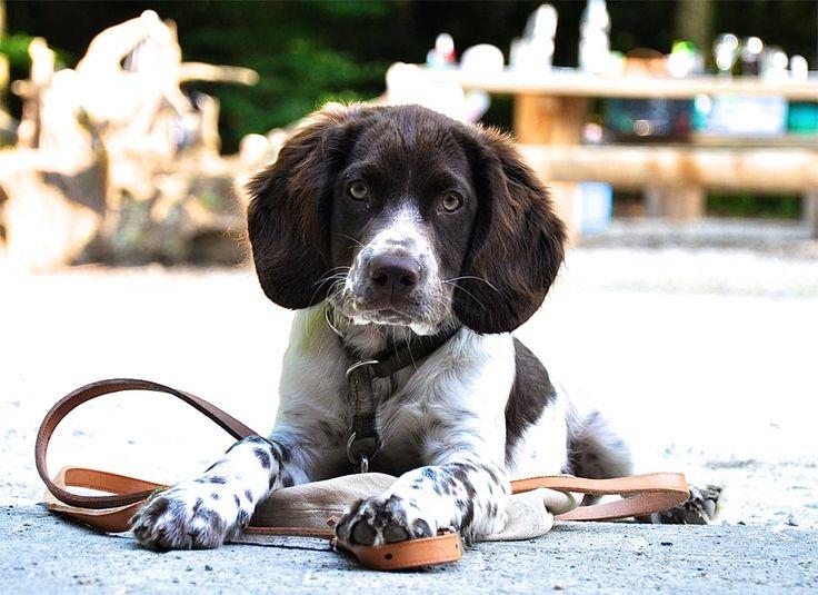 Wachtelhundefotos Schweizer Klub für Deutsche Wachtelhunde