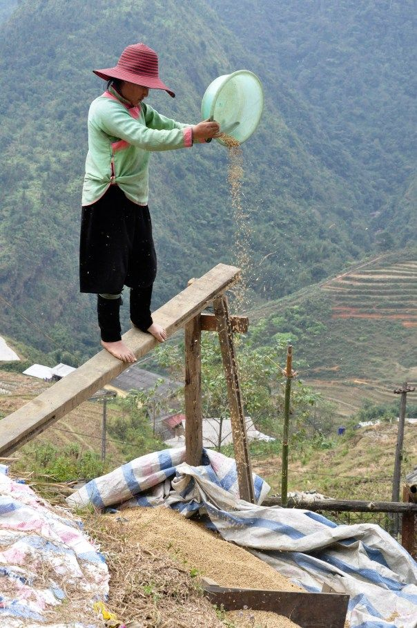 A villager in Sapa, Vietnam, uses the winnowing process to separate the rice from hulls by throwing it into the air while the wind blows.
