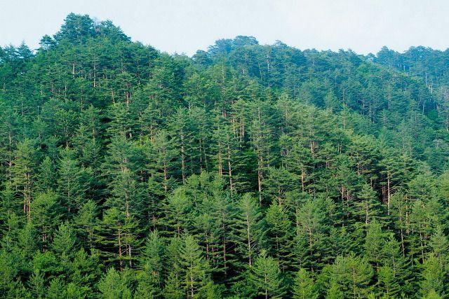 소광리의 숲 ※ 본 저작물의 무단전제 및 재배포를 금합니다. copyright ⓒ 2013 by 산림청(Korea Forest Service) All pictures can not be copied without permission.