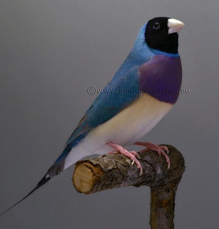 Blue Gouldian finch (Erythrura gouldiae)