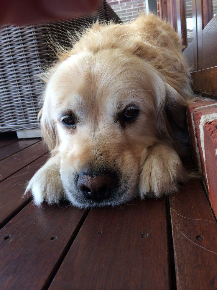How cute am i? Golden retriever Sammy