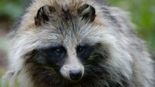 Image copyright                  Alamy  They look cute and cuddly and are sometimes kept as pets – but raccoon dogs are a menace, threatening wildlife across Europe. Sweden is so worried about their impact that it has trained a team to hunt and kill the animals, with the unwitting help of creatures made to betray their mates. It's mid-April and on the Gulf of Bothnia between Sweden and Finland, the ice covering the sea is still a metre thick. It