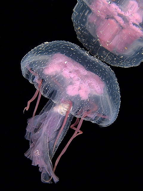 Pink jellyfish - jellyfish tank please