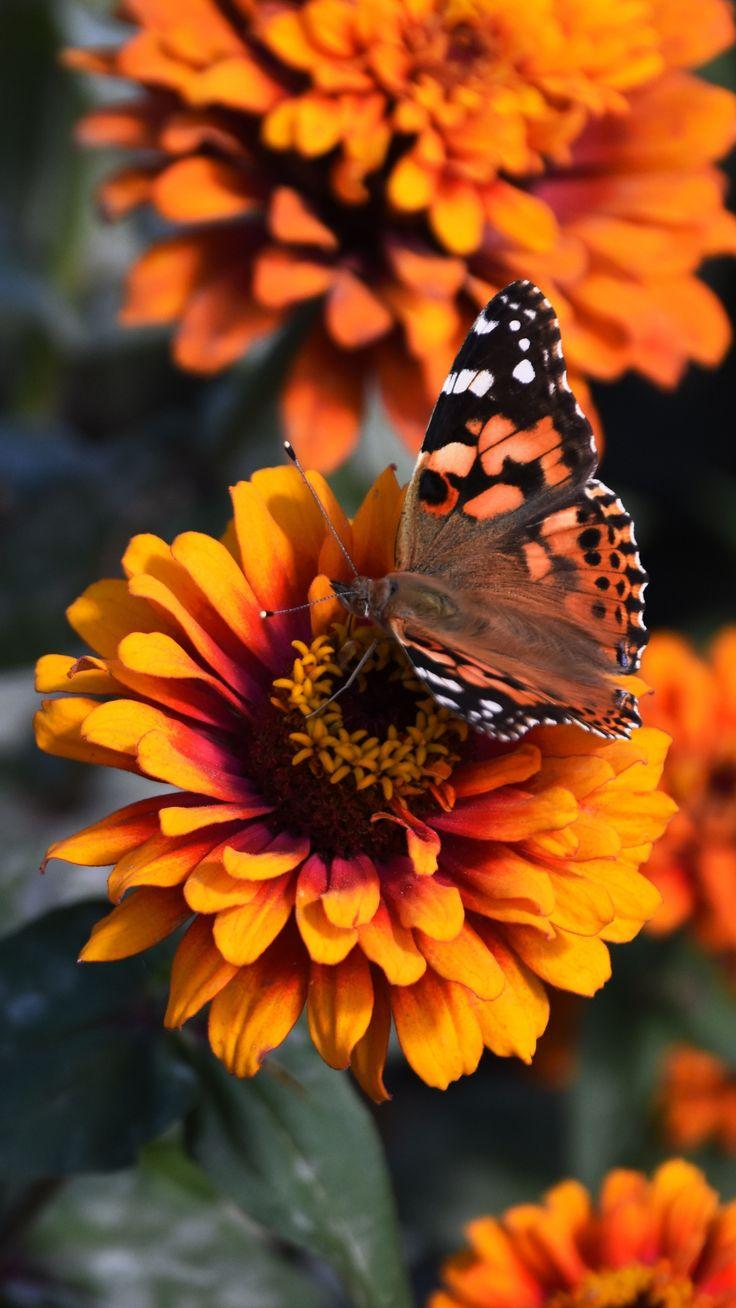 HD Wallpaper 84   Butterfly wallpaper iphone, Spring ...