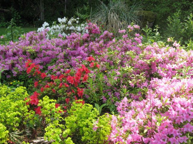 31 best 6924 srd landscape plants proposed images on for How to care for rhododendrons after blooming