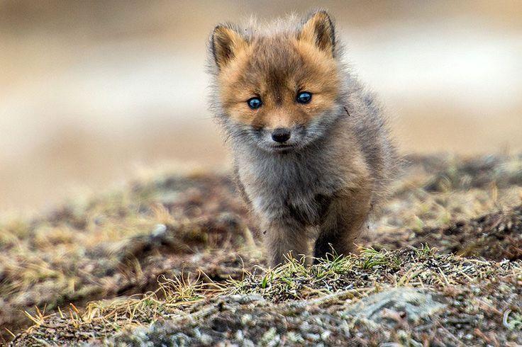 Ivan immortalise la beauté innocente des renards arctiques qui vivent dans la neige de Russie | Daily Geek Show