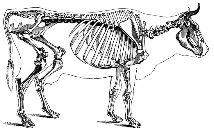 Image result for cow skeleton