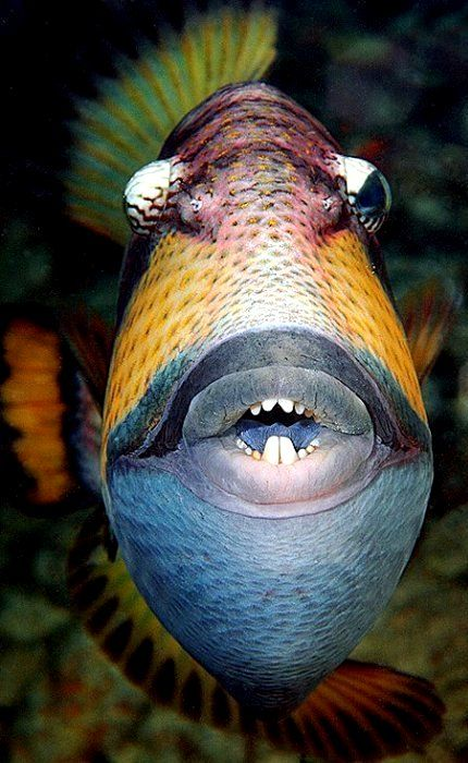 Trigger Fish, my, such white teeth!