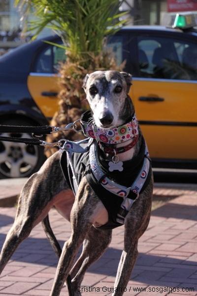 http://www.facebook.com/media/set/?set=a.10151210606413101.465917.61355933100=1 #galgo #greyhound