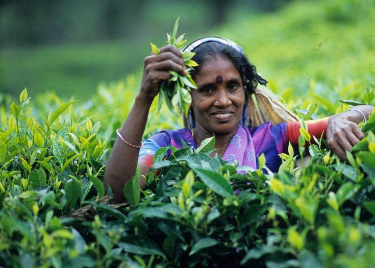 tea plucker in the hill country of Sri Lanka