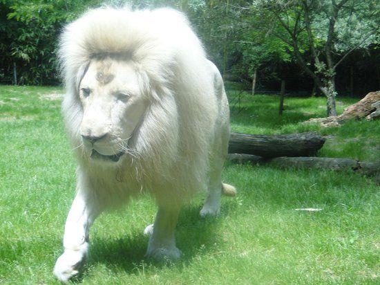 Animaux - Gerhal272 - Lion Blanc - Zoo de la Flèche