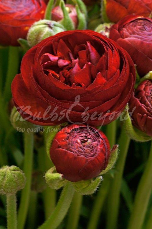 Ranunculus - Red