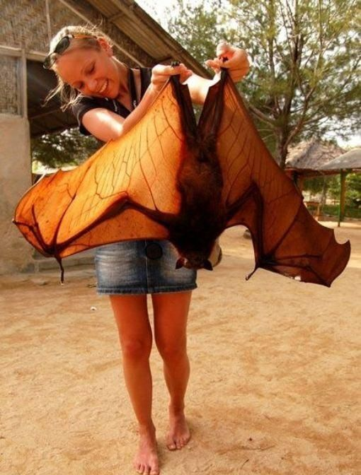 Flying Fox. They live in northern and eastern Australia and can weigh 760 grams. These bats, unlike most known relatives, have an excellent sense of sight. They can not fly in total darkness.