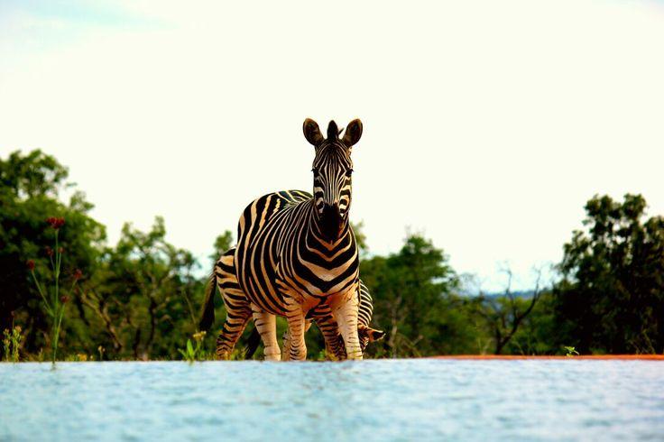 'Inquisitive Dazzle of Zebras at Mhondoro