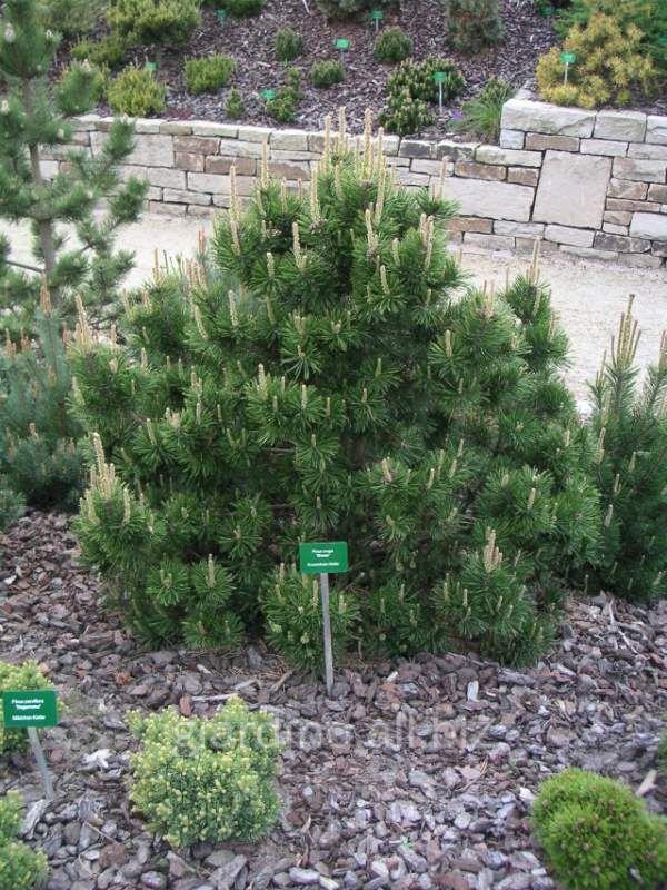 "Pinus mugo ""Gnom"""