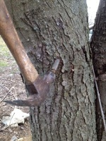How To Seal A Maple Tree Tap Hole Maple Tree Pine Tree Painting Maple Tree Bark