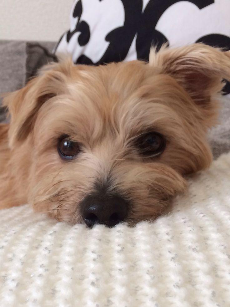 Norfolk Terrier - I need a scruffy little friend like him