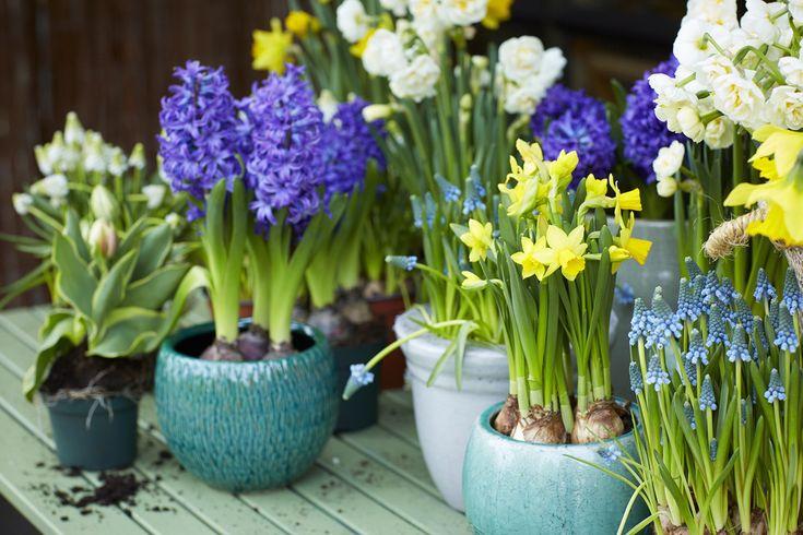 Los Jacintos, Narcisos y Muscaris  son bulbos  que se plantan a partir del mes de septiembre, y florecen en primavera porque tienen la pe...
