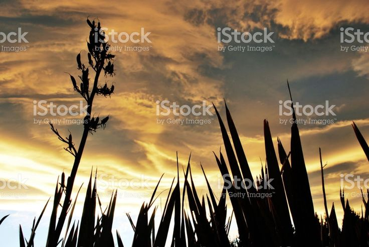 Sunset and Harakeke (New Zealand Flax) royalty-free stock photo