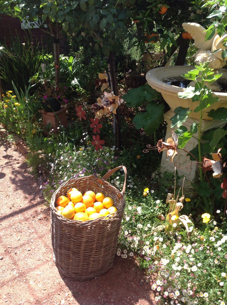 ELMS-HAVEN, harvesting oranges from the trees in the back garden.