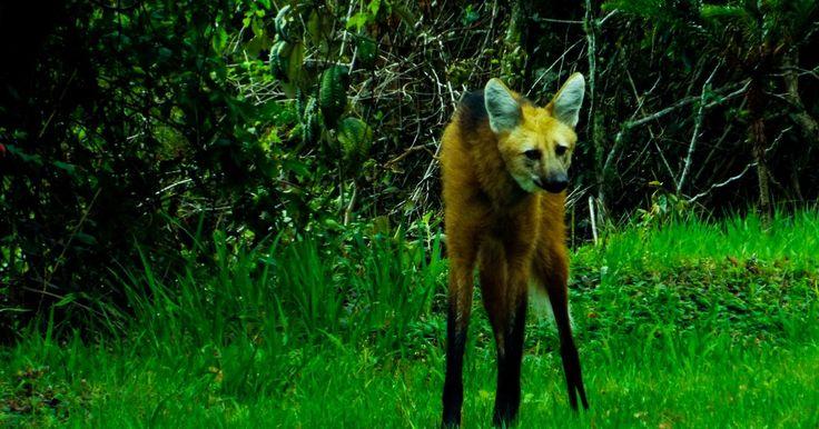 Lobo-guará aparece em Minas, enquanto biólogo vai ao trabalho