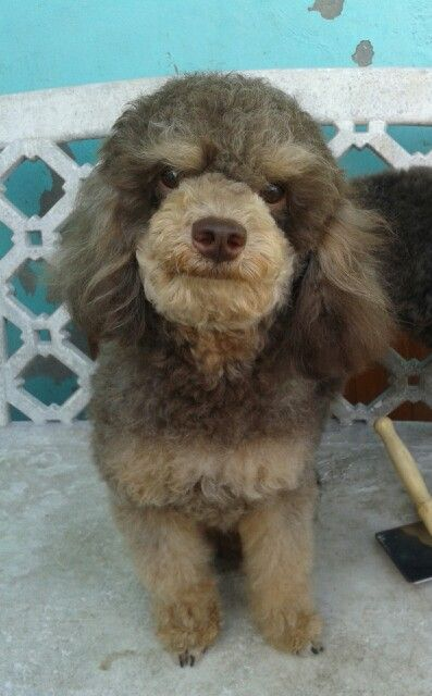 99 best images about toy poodle on pinterest french