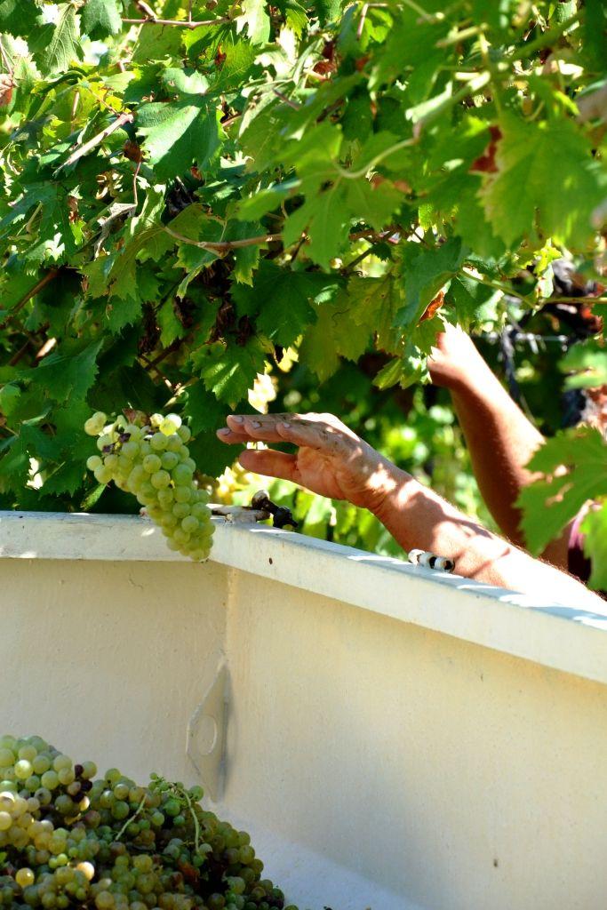 man at work # grape # wine producer # scissor # white wine #