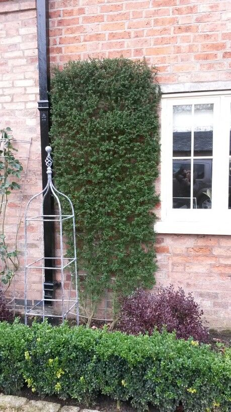 Ceonothus Wall Trained