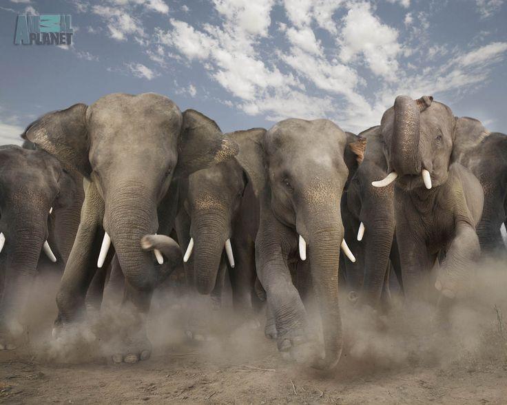 Nuff said RUN!!!!!!!!!!!!!!!Wild Animal, Animal Pictures, Beautiful Animal, Animal Photography, Elephant, Families Meeting, Dinner Time, Rolls Tide, Animal Photos