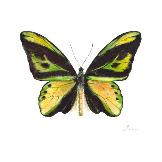 Watercolor yellow butterfly Ornithoptera chimaera. JPG downable and printable. Realistic hand painting high resolution digital file by ZorrinaArt