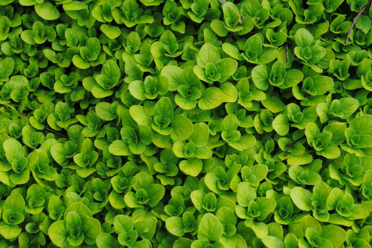 Creeping Oregano Ground Cover Useful Herb Drought