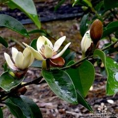 Michelia Coco has gorgeously scented creamy flowers edged in burgundy, through spring and summer.