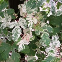 Variegated Porcelain Vine ~ Beautiful vine with green leaves variegated with white and pink ~ Zone 6