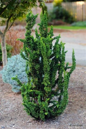 'Chirimen' Hinoki cypress: Upright miniature conifer with almost otherworldly foliage. Its dark green color and open habit make this plant an eye-catching conifer for any landscape, particularly rock gardens.