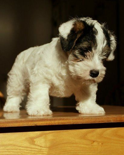 the Sealyham Terrier!  Maybe i need one of these.  Never heard of them.  so,  so cute.