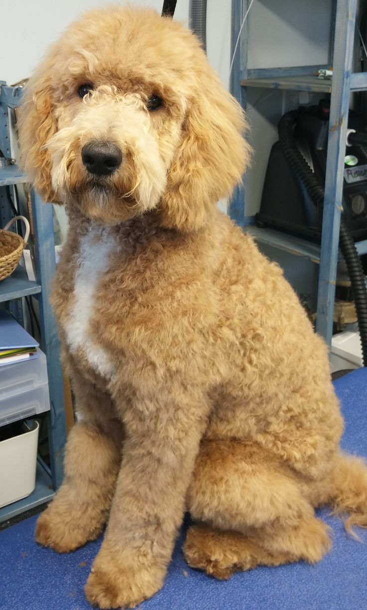 23 best images about goldendoodle haircuts on pinterest 35 best goldendoodle haircuts images on pinterest
