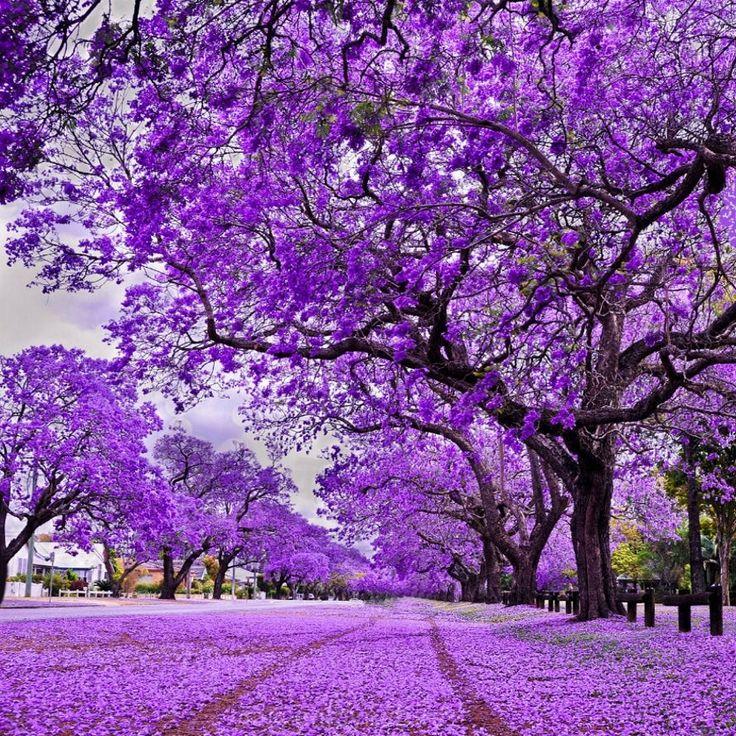 лиловое дерево фото несмотря